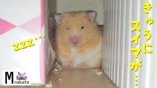 【盗撮】遊び疲れてその場で急に気を失うハムスター!おもしろ可愛い癒しハムスターFunny hamster suddenly fainted on the spot with play tired! thumbnail