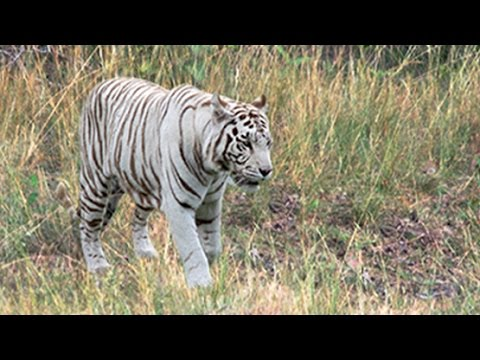 white tigers in the wild? - youtube