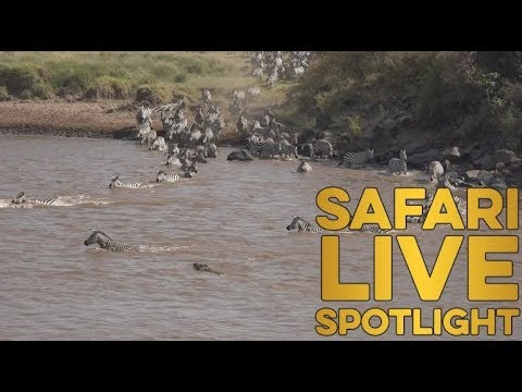 WARNING GRAPHIC CONTENT: Your weekly update on the treacherous crossings of the Mara River