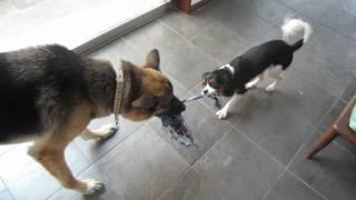 保護犬キャバリアのエルモと保父犬シェパードのアンジェロ。ひっぱりっ...