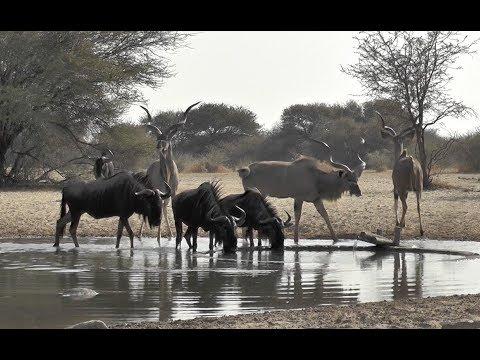Bowhunting Africa - Botswana 2018 - Bokamoso Safari - Kudu & Wildebeest - Day 3