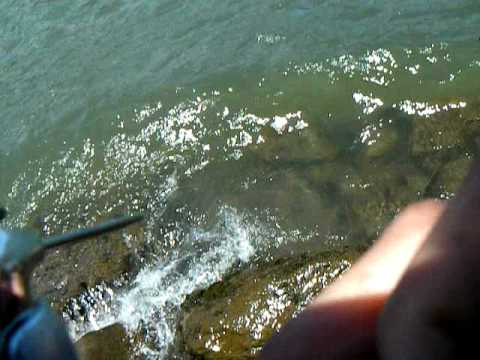 Bonneville dam shad fishing youtube for Fish count bonneville