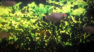 These are my Lamp Eye Tetras, they are one of my favorite fish. The...