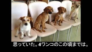 【愛犬物語】犬同士の上下関係、相性。愛犬サンシンちゃんはサンバと2ワ...