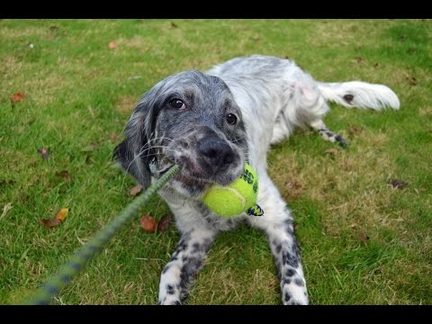 Daisy - English Setter - 3 Weeks Residential Dog Training