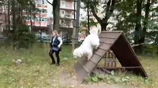 Южнорусская овчарка Руна из клана Найс разминка перед сдачей испытания по ОКД