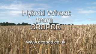 What is Hybrid Wheat
