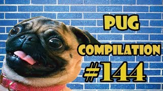 Pug Compilation 144 - Funny Dogs but only Pug Videos | Instapug