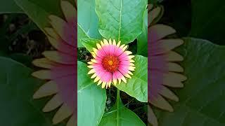 Flor de Paintbrush native american flower HD