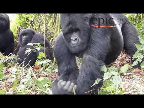 Great apes and volcanoes - Democratic Republic of Congo