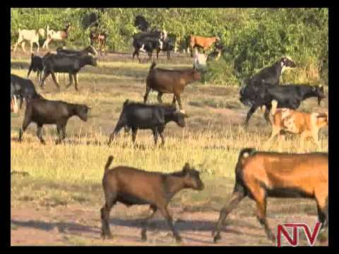 Life on the shores of lake Albert: Man owns 500 goats but laments poverty