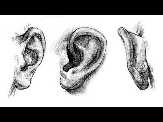 Drawing Ears Anatomy Art Group D Acha