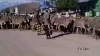 Thousands of Donkeys Took over a  City