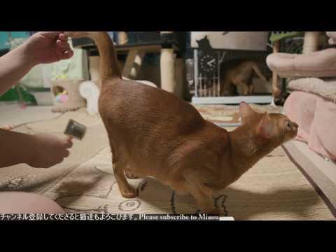 2018.8.8 猫日記ブラッシング   Cats & Kittens room 【Miaou みゃう】