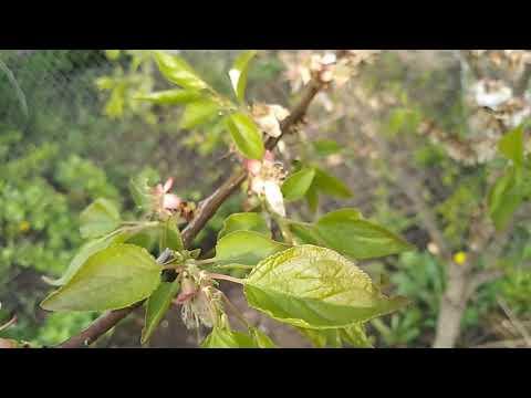Вопрос: Как вырастить абрикос из косточки в климатических условиях Беларуси?