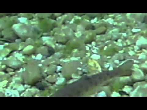 Rainbow Trout Aquaculture