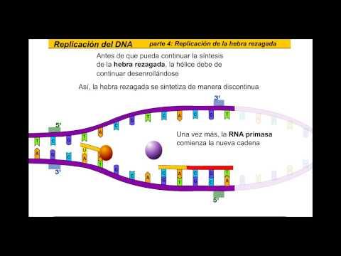 Replicacion del DNA (Español)