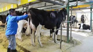 La vache équilibrée