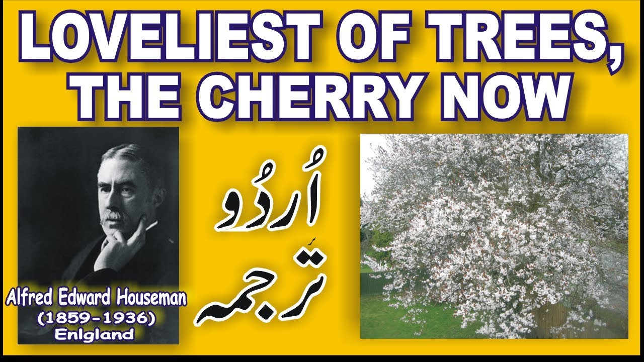 loveliest of trees the cherry now