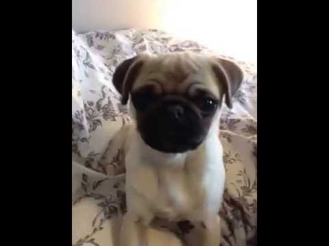 percy the pug percy the pug attacking the phone youtube 2074