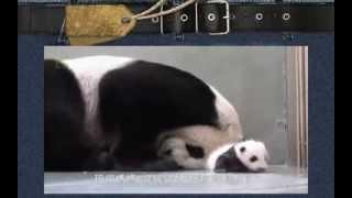 Мило! Мама Панда и ребенок Панда! Супер Прикольные Смешные Животные! Лови улыбку)  Угарный ржач!