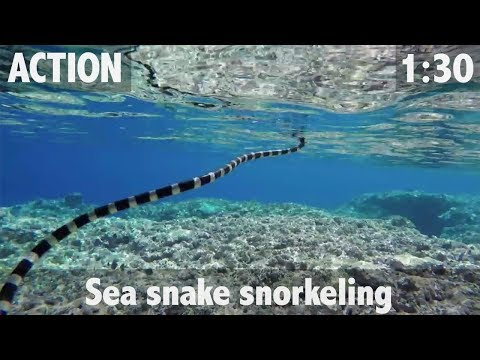Shaw goes sea snake snorkeling in Niue - ULTIMATE FISHING TV