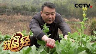《致富经》 20200415 巧种蔬菜 变换销路有玄机  CCTV农业