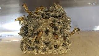 ミルワームが芋を喰う Meal worms eat a potato