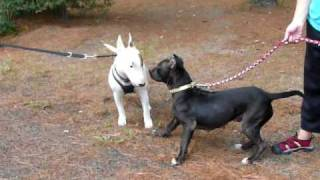 Inky Pit Bull Meets A Bull Terrier
