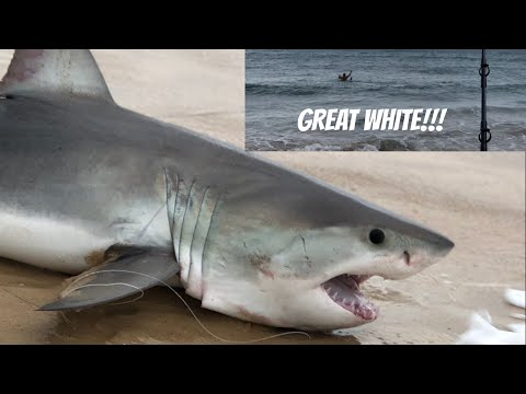 Caught GREAT WHITE SHARK FROM BEACH Swimming Baits Out