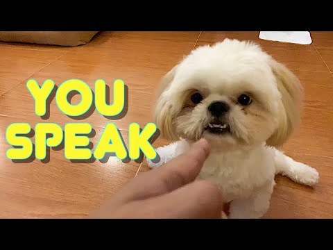 Cute Shih Tzu Puppy Knows How To Speak On Command ( Funny Dog Video)