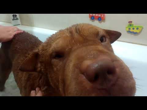 Вопрос: Сколько живут собаки породы шарпей?