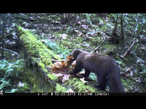 Pacific fisher in the Siskiyou Mountains (Video 1)
