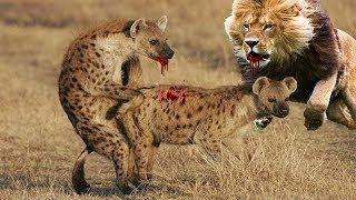 гиена атака Лев, слон и крокодил, леопард и анаконда, змея и мангуста, Бегемот и носорог