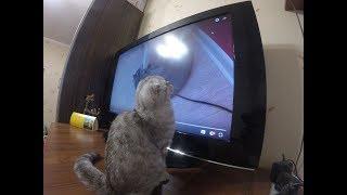 😻 Котенок Смотрит Телевизор 🐱 Смешные коты и котята 2017  🐱 Funny Kitten Chloe