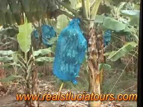 St. Lucia Banana Plantation Tour (Roseau)  With Real St. Lucia Tours.mpg