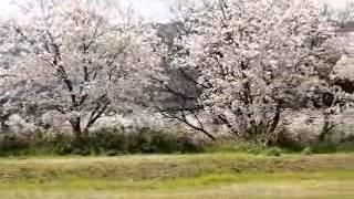 鹿児島国際大学の桜並木