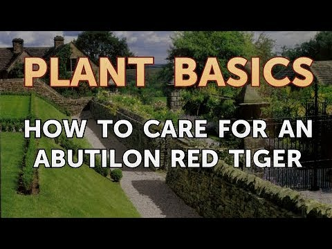 How To Care For An Abutilon Red Tiger