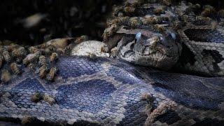 Killer Bees vs Python 03 Music