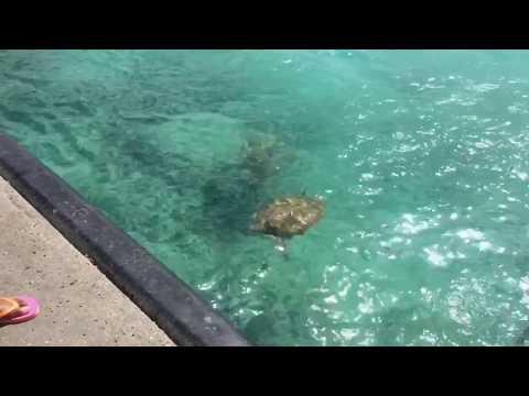 Ocean Wildlife   Barbados sea turtles adventure