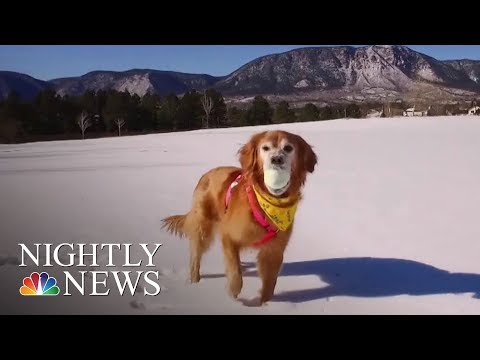 Could Dogs Hold A Key To Curing Cancer? | NBC Nightly News