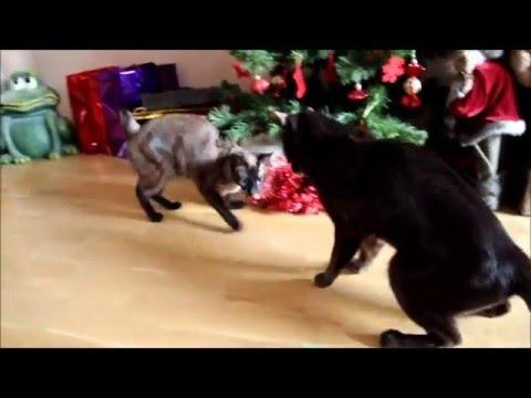 Havana Brown Cat Gauderic and Geminoid