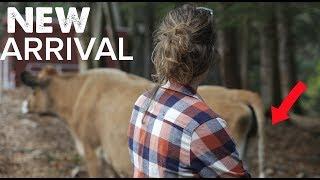 Jersey Calf Birth on the Farm!