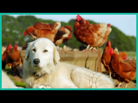 Watch These Sheep Dogs Protect a Flock of Chickens