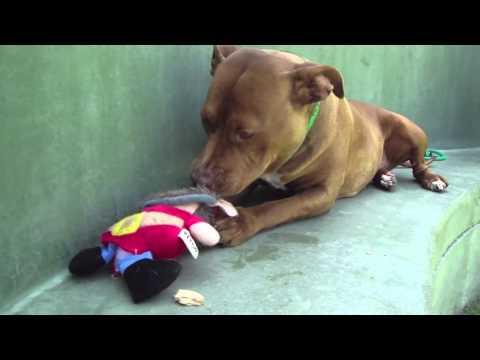 Betsy the forgotten pit bull
