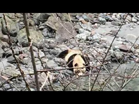 Wild giant panda drinking water, running into woods in southwest China