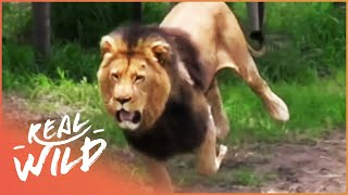 Feeding A Fully Grown Lion (Wildlife Documentary) | Lodging With Lions S1 EP7 | Real Wild