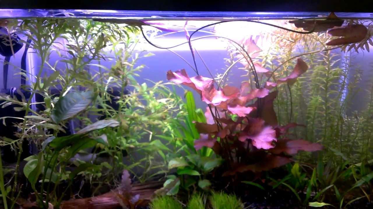 33 Red Tiger Lotus Youtube
