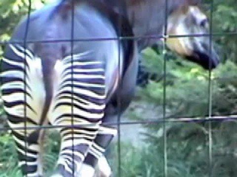 Strange Zebra Horse Giraffe Cross bred Okapi