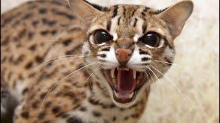 Наедине с дикими кошками. Азиатские леопардовые кошки Лайк и Лиза